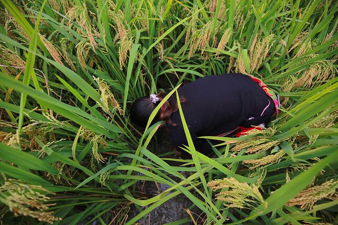 Ruộng lúa ngập nước khoảng 20-30cm, là môi trường sống thích hợp cho loại cá chép nhỏ. Người nuôi dễ dàng quan sát được cá khi lớn, khi thu hoạch thường bắt bằng tay.