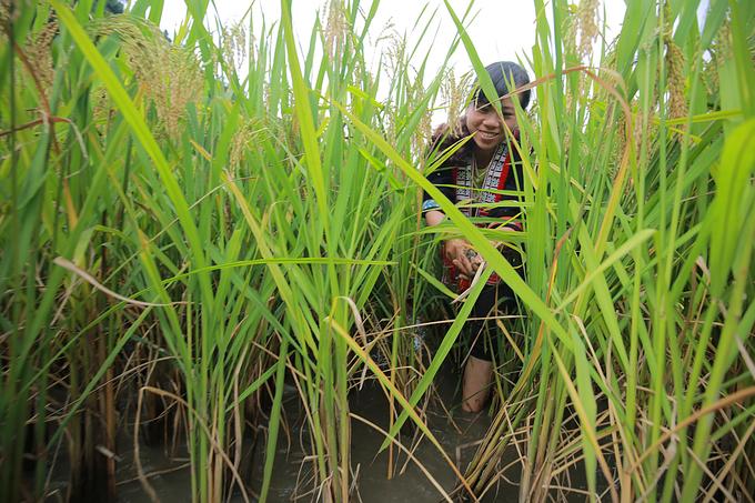 Cá giống thả trong ruộng lúa khoảng 3 tháng là cho thu hoạch. Thông thường người dân thả cá từ tháng 6 đến tháng 9 khi lúa bắt đầu ngả vàng là có thể thu, cá được bắt trước khi gặt lúa.