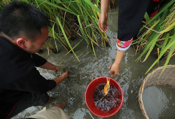 Cá sống tại ruộng có trọng lượng khá khiêm tốn, chỉ khoảng 200 đến 300 gram.