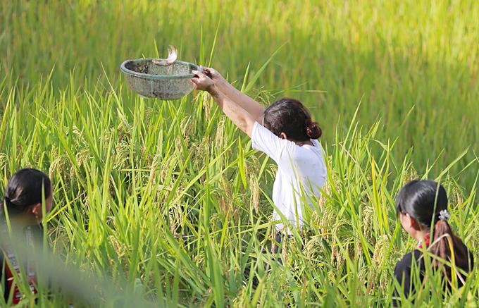 Nhiều khách du lịch thích thú trải nghiệm cảm giác bắt cá giữa cánh đồng lúa đang thì chín vàng ruộm.