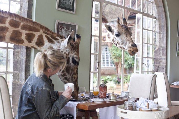 Chúng biết rõ bữa sáng của du khách thường bắt đầu lúc 9h, vì vậy nếu bạn dùng điểm tâm bên khung cửa sổ tầm khoảng thời gian đó, chắc chắn sẽ có những chiếc đầu to chui qua ô cửa sổ, không ngần ngại dùng chiếc lưỡi màu đen ẩm ướt quét sạch thức ăn trên đĩa của khách.