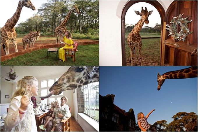 Cho dù giá phòng đắt đỏ, hay quãng đường di chuyển từ trung tâm thành phố đến Giraffe Manor không mấy thuận lợi nhưng những gì bạn nhận được là xứng đáng bởi Rothschild cũng không giống như những chú hươu cao cổ bạn thường gặp trong sở thú hay công viên. Đây là một trong 4 loài hươu cao cổ sắp bị tuyệt chủng, chỉ còn sót lại một ít sống ở Kenya. Chính vì vậy ngoài chức năng nghỉ dưỡng, khách sạn tạo điều kiện cho người yêu thiên nhiên có những trải nghiệm khó quên với loài động vật này mà bạn không thể trải qua ở bất kỳ nơi nào khác trên thế giới.