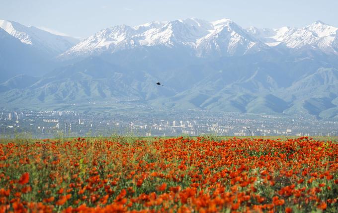 Cánh đồng hoa anh túc dưới chân núi Tian Shan, ngoại ô thành phố Almaty, Kazakhstan. Theo UNESCO, Almaty là một trong những thành phố cổ nhất vùng Trung Á. Hình thành từ 1.000 năm TCN, đến thời kỳ con đường tơ lụa, Almaty đã trở thành trung tâm thương mại, thủ công và nông nghiệp. Ảnh: Shamil Zhumatov/Reuters.