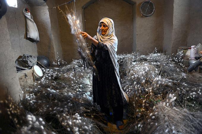 Một công nhân thu thập kén trên các cành dâu tằm ở huyện Zandajan, tỉnh Herat, Afghanistan. Trong số những điểm dừng chân trên con đường tơ lụa, vùng đất phía Tây Afghanistan là nơi có truyền thống hàng nghìn năm sản xuất tơ tằm để dệt thảm - loại hàng xuất khẩu nổi tiếng nhất của Afghanistan. Ước tính có đến 6 triệu người tham gia trực tiếp và gián tiếp vào các công việc liên quan đến những chiếc thảm, tuy con số đã giảm mạnh những năm trở lại đây. Ảnh: Aref Karimi/AFP.