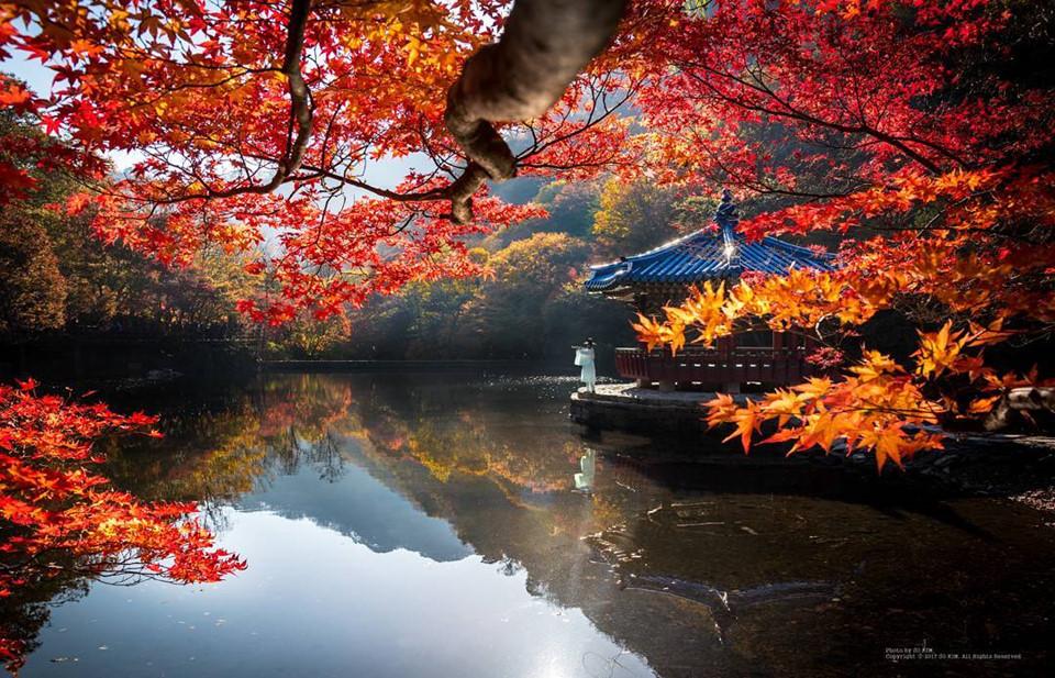 Công viên Quốc gia Naejangsan: Công viên Naejangsan là một trong những địa điểm ngắm lá thu phổ biến của người dân Hàn Quốc và du khách. Nơi đây nổi tiếng với những tán lá đỏ thắm sống động, cây hạt dẻ 600 năm tuổi và thác nước hùng vĩ. Ảnh: @sunok_0331.