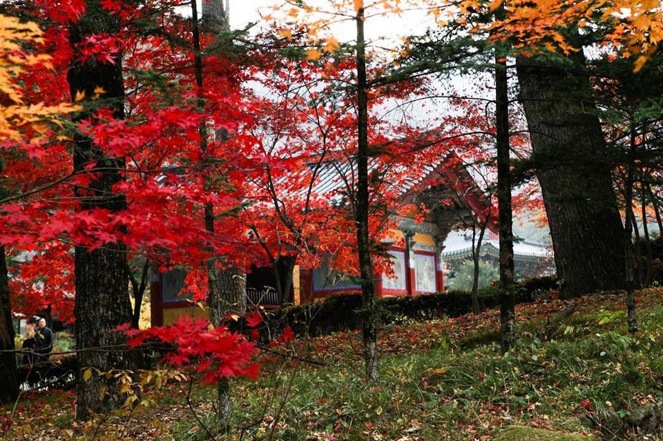 Nằm ở thung lũng phía đông núi Odaesan là đền thờ Phật giáo Woljeongsa, được thành lập từ năm 643. Đây chính là vị trí đẹp nhất để bạn lưu giữ những bức hình ngắm lá vàng tại công viên này. Ảnh: @jihyun_e_y.