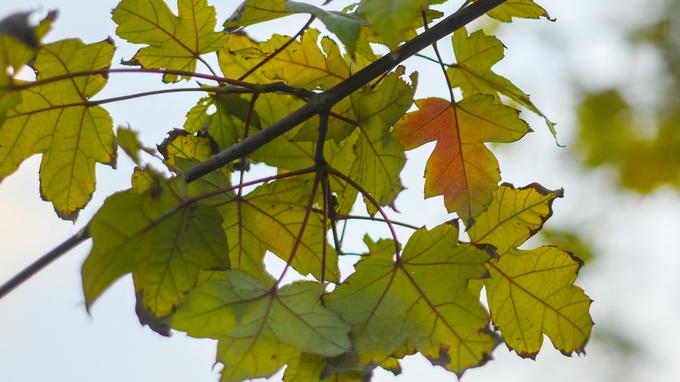 Trái với lo ngại của nhiều người rằng cây sẽ chết trong điều kiện khí hậu Việt Nam, những cây phong đã cho kết quả ban đầu.