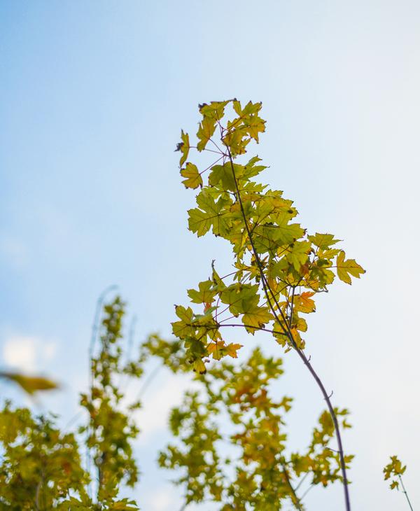 Phong lá đỏ là loại cây của các vùng ôn đới, có chiều cao 6-7 m và đường kính thân khoảng 25 cm.