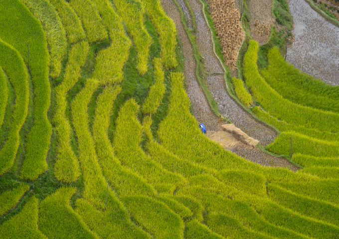 Từ khoảng cuối tháng 9 đến đầu tháng 10 hàng năm là thời gian lúa chín, những thửa ruộng chuyển màu từ xanh sang vàng.