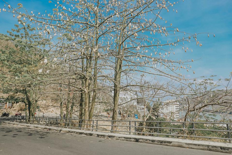 Con đường bông gòn là điểm thu hút rất nhiều du khách khi đến Vũng Tàu. Hè tới, bông gòn đua nhau nở trắng tinh khôi như những đóa hoa tuyết trên bầu trời xanh thẳm. Thu sang, lá khô rơi, nằm rải rác trên khắp các con đường, tạo nên một vẻ đẹp hoang vu, bí ẩn, mê đắm lòng người.