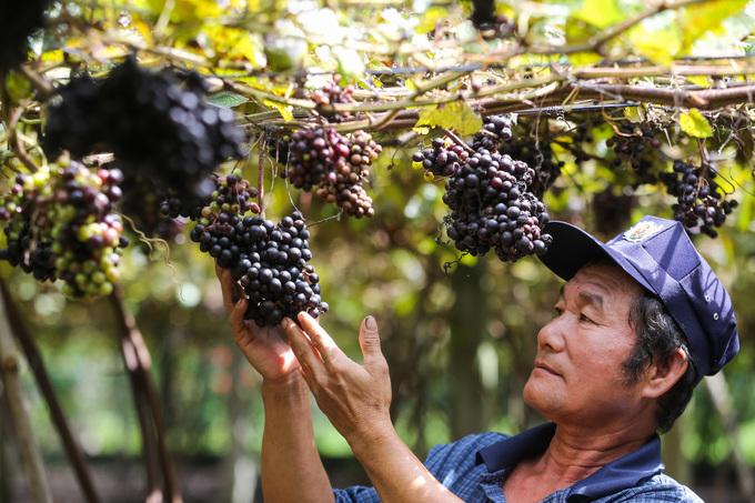Những cây nho dại được ông Thông thuần dưỡng trong chục năm nay với hơn 3.000 gốc đang cho thu hoạch. Nho rừng có hình dáng, cách trồng giống như nho thường với giàn thẳng tắp để cây leo bám.