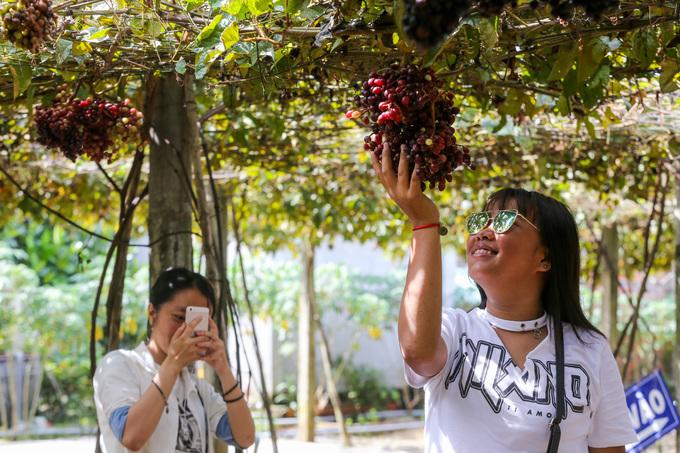 """Hơn một năm nay, từ khi vườn nho rừng của ông Thông nổi tiếng, mỗi ngày đều có đông khách đến tham quan. """"Họ đi xe máy, ôtô hoặc theo cả đoàn tới, ngoài khách trong tỉnh còn nhiều người từ Sài Gòn, các tỉnh miền Tây, Đông Nam Bộ đến xem vườn"""", ông Thông nói."""