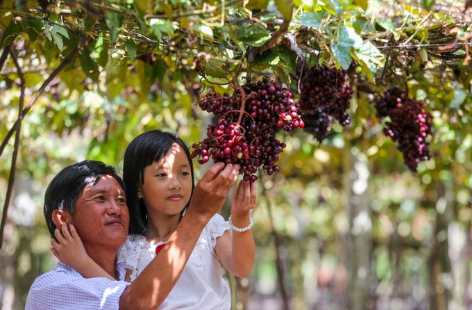 """Chị Nguyễn Ngọc Anh, du khách đến từ TP HCM, cho biết, do xem ảnh vườn trên mạng xã hội nên tò mò tìm đến. """"Vườn nho ở đây đúng là đẹp như trong hình, nhìn từng chùm trĩu quả rất bắt mắt"""", chị nói."""
