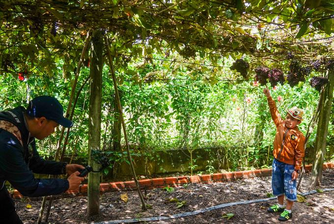 Theo chủ vườn, ngày thường chỉ đón vài chục khách nhưng cuối tuần có thể có vài trăm người tham quan vườn nho, có cả khách còn xin chụp ảnh cưới.