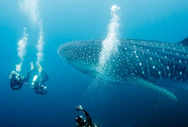 Lặn biển ngắm cá mập voi.