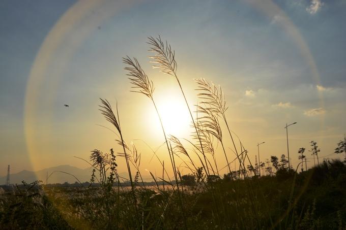 16h, hoa cỏ lau đổi sắc dưới ánh hoàng hôn. Phía trên cánh đồng, chim sải cánh.
