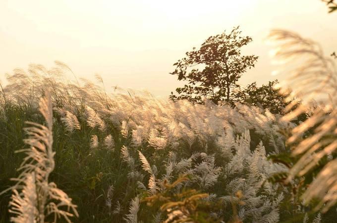 Từng vạt hoa lau đong đưa trước gió trong ánh chiều.
