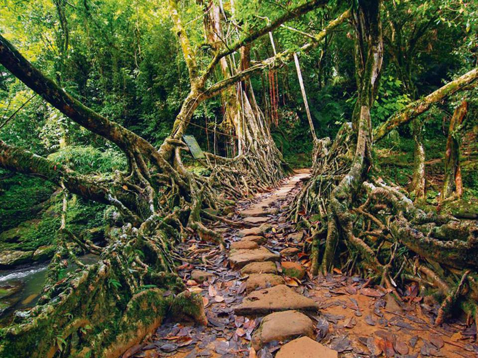 Thay vì dùng những vật liệu thông thường, những cầu rễ cây ở làng Cherrapunji (Ấn Độ), nơi nổi tiếng là một trong những vùng ẩm ướt nhất thế giới, được xây bằng cách sử dụng rễ lộ thiên của cây đa búp đỏ. Ảnh: 123RF.