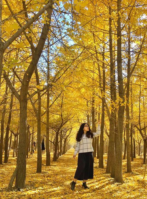 Hàng cây ngân hạnh (hay còn gọi là bạch quả) được trồng thẳng tắp, kéo dài ngút tầm mắt. Lá vàng dưới đất và trên cây tạo nên khung cảnh mùa thu rực rỡ, hiếm có giữa thành phố đông đúc. Thảo bật mí địa điểm chụp ảnh của mình là ở khu rừng ngân hạnh Zhanggezhuang ở phía bắc thủ đô Bắc Kinh. Nơi đây là điểm ngắm cảnh quen thuộc của người dân bản xứ nhưng hầu như không được tour du lịch nào từ Việt Nam khai thác.