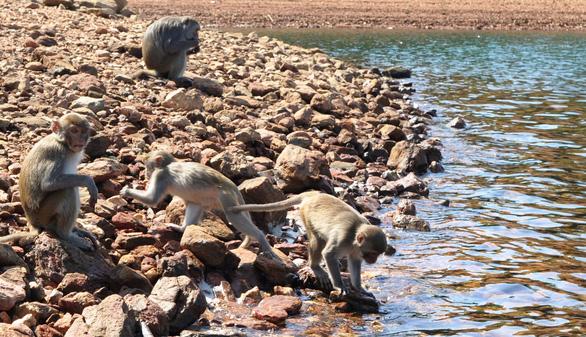 Đàn khỉ ra bờ hồ uống nước - Ảnh: LÊ TRUNG