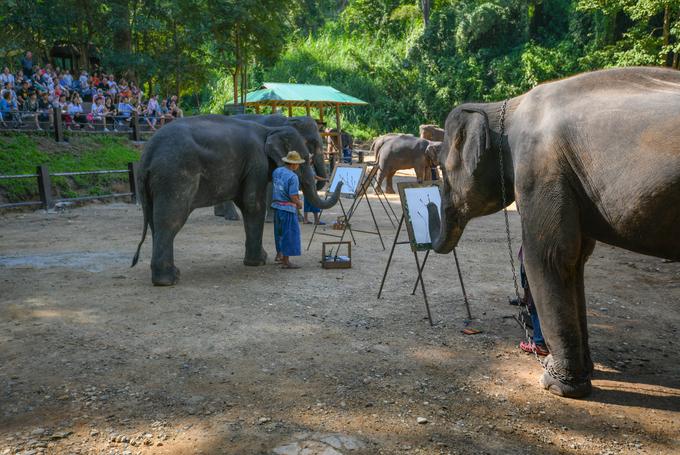 8h sáng hàng ngày, đàn voi châu Á cùng các quản tượng bắt đầu buổi biểu diễn phục vụ khách du lịch đến trại voi Maesa ở thành phố Chiang Mai, Thái Lan. Trong số các kỹ năng như đá bóng, phi tiêu… khả năng vẽ tranh của đàn voi sống tại đây được chú ý hơn cả.