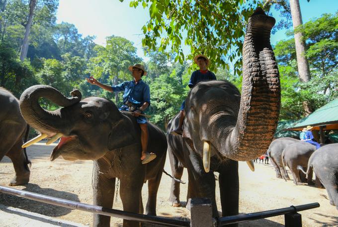 Sau buổi diễn, những con voi tiến về khán đài để mời du khách chụp ảnh chung, bằng cách dùng vòi vẫy hoặc đập xuống đất khi du khách đi qua. Chúng cũng biết cách dùng vòi để quấn người, thơm má du khách, tạo nên những góc ảnh thú vị.