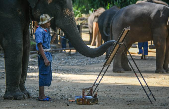 Theo người đại diện trại voi, vai trò hiện tại của loài voi đã thay đổi hoàn toàn. Thay vì được nuôi để lấy sức kéo như trước, những con voi ở Maesa đã đóng góp vào các hoạt động du lịch địa phương. Hiện trại voi này có khoảng 73 cá thể voi và 80 quản tượng.
