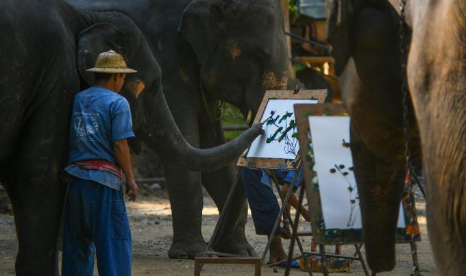 Đàn voi thay phiên nhau hoạt động theo 3 khung giờ trong ngày là 8h, 9h40 và 13h30. Khách du lịch nước ngoài đặt câu hỏi liệu đây có phải hành động ngược đãi voi, tại sao không thả chúng lại vào rừng? Tổ chức Asia Captivate Elephant Working Group (ACEWG) chuyên khảo sát và nâng cao nhận thức về voi nuôi nhốt ở Đông Nam Á cho rằng, việc này không gây đau đớn hay ngược đãi vì những con voi đều được nghỉ ngơi, hoạt động theo thời gian biểu.