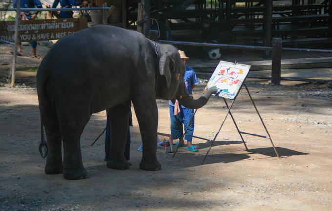 Hơn nữa, voi tại đây nếu không được nuôi nhốt thì chúng sẽ không biết đi đâu, làm gì ngoài việc phá ruộng vườn của người dân. Nếu thả chúng về rừng sẽ là giết chúng một cách gián tiếp vì những con voi không quen với việc ở ngoài tự nhiên từ nhỏ.