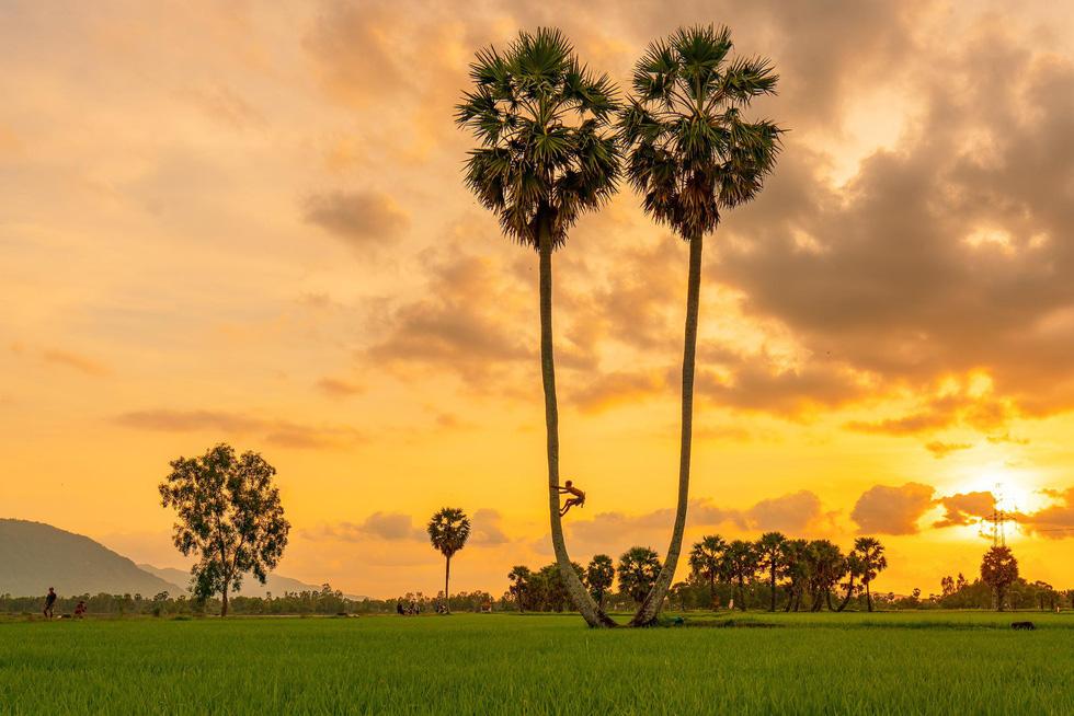 Người dân leo cây thu hoạch trái thốt nốt - Ảnh: MINH TRUNG