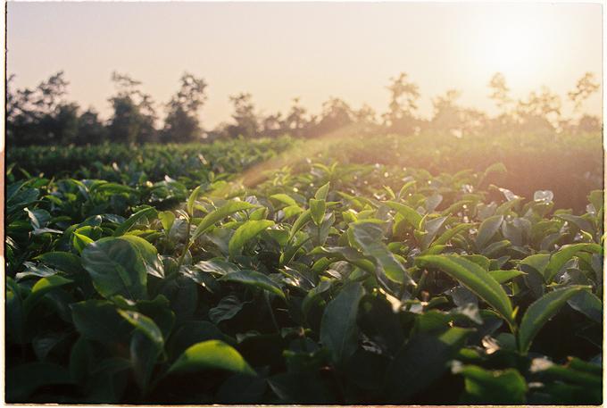 Đây chính là đồn điền chè đầu tiên của người Pháp ở Gia Lai. Hình ảnh những đọt chè xanh mơn mởn trong ánh ban mai.