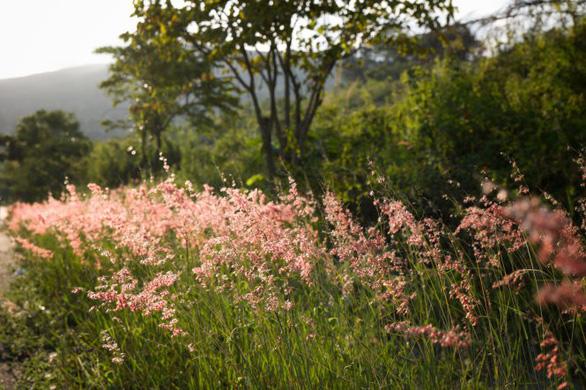 Tim bạn sẽ rung lên khi bất chợt gặp những cụm cỏ dại đầy lãng mạn bên đồi thông - Ảnh: TRẦN THÙY LINH