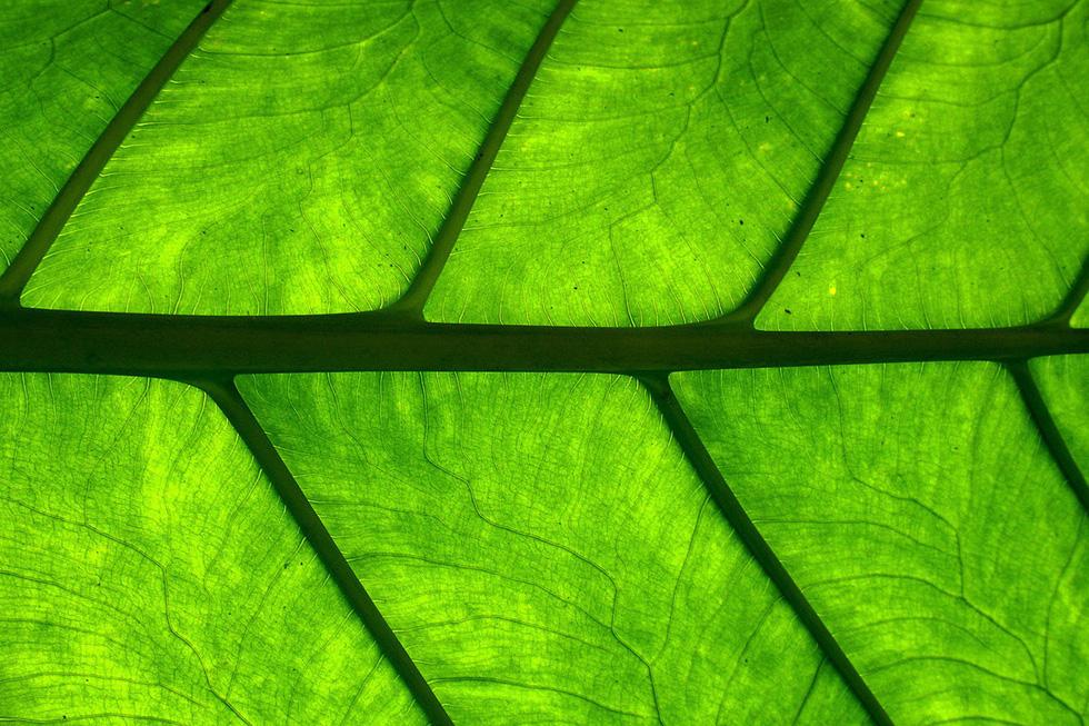 Cận cảnh cấu trúc một chiếc lá trong rừng Mexico trên bán đảo Yucatán- Ảnh: Axel Rosenberg/Getty