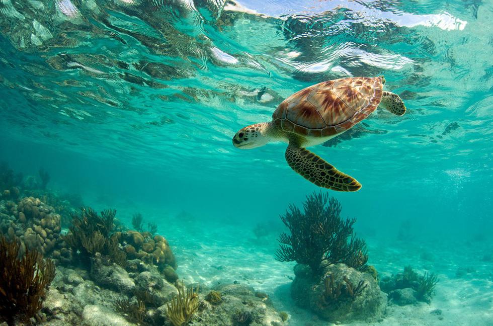 Chú rùa bơi dưới rạn san hô gần Akumal, phía nam thành phố Cancun, Mexico - Ảnh: Getty