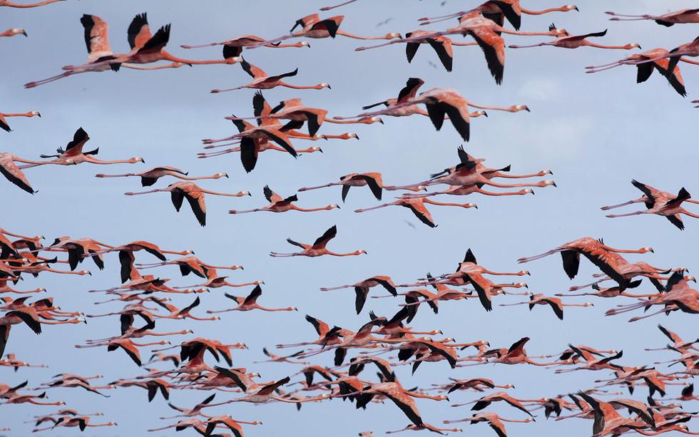 Khoảnh khắc đàn chim hồng hạc tung cánh bay tạo nên bức tranh thiên nhiên thật sống động tại vùng đất ngập nước Celestun thuộc bán đảo Yucatán - Ảnh: Victor Ruiz Garcia/Reuters