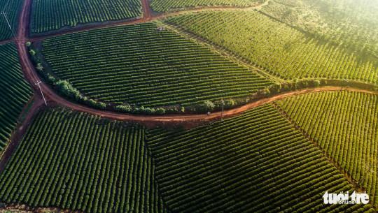 Nhữnh cảnh đồi chè bạt ngàn, xen giữa là những con đường nhỏ uốn lượn du khách có thể bắt gặp khi đi vào vùng trồng chè Đam B'ri (ngoại ô TP. Bảo Lộc), hoặc các xã vùng ven huyện Bảo Lâm - Ảnh: LÊ VĂN CƯỜNG