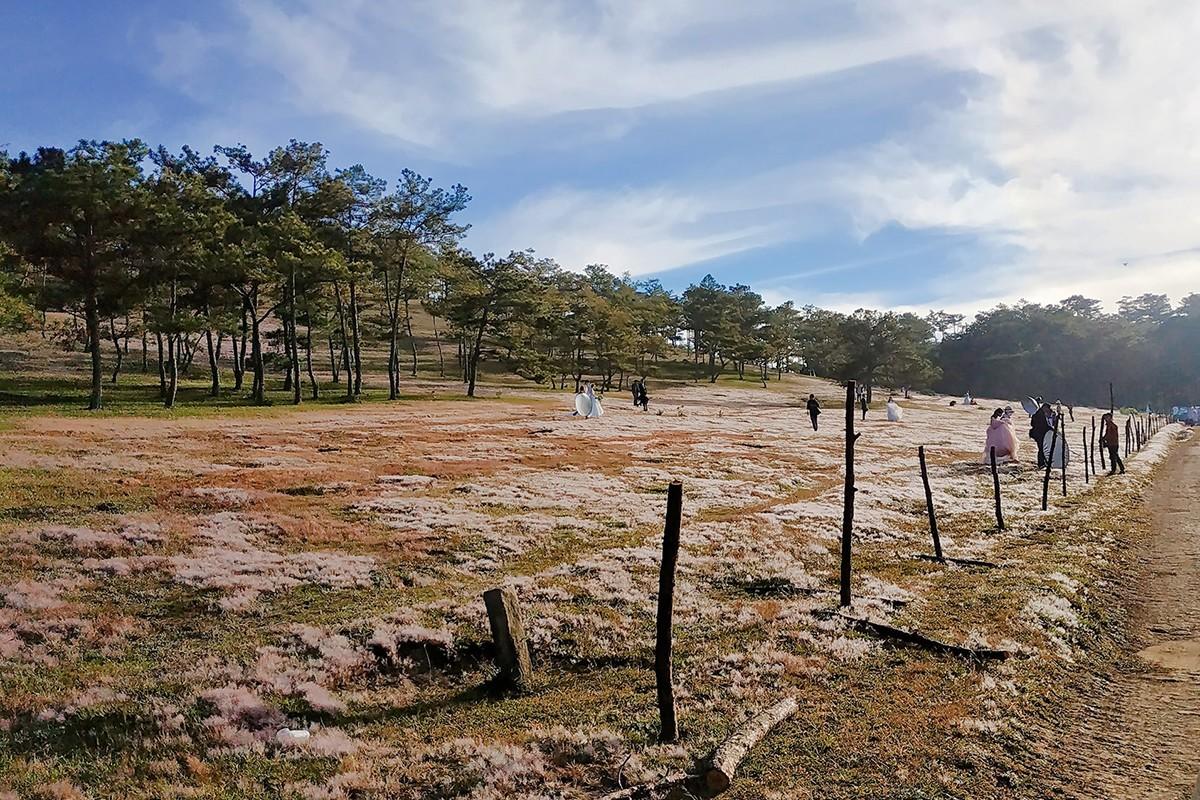 Du khách có thể tìm thấy loại cỏ này ven sườn đồi, giữa thung lũng, nhiều nhất phải kể đến các khu vực ngoại ô như Trại Mát, xung quanh làng hoa Thái Phiên, Suối Vàng.