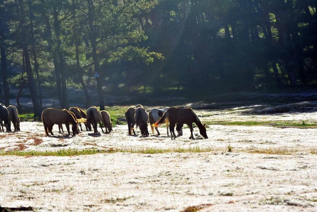 Khu vực cỏ hồng ở Suối Vàng được bao quanh bởi hàng thông xanh rì. Nếu may mắn, bạn sẽ có dịp tận hưởng khung cảnh yên bình với những chú ngựa đang thong thả gặm cỏ dưới ánh nắng sớm.
