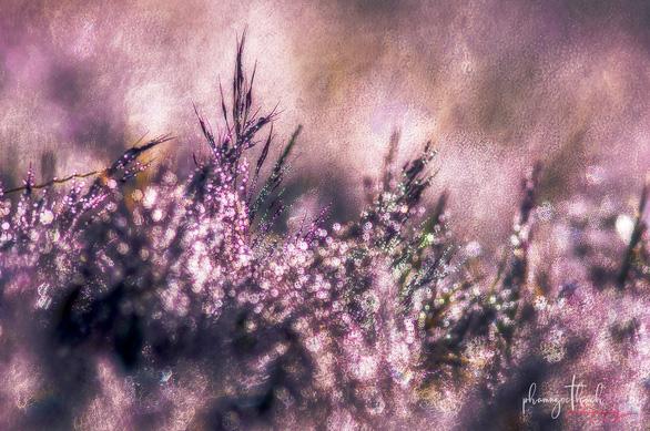 Những bông cỏ hồng đọng sương sớm mai nên chúng còn được gọi là cỏ tuyết - Ảnh: PHẠM NGỌC THẠCH