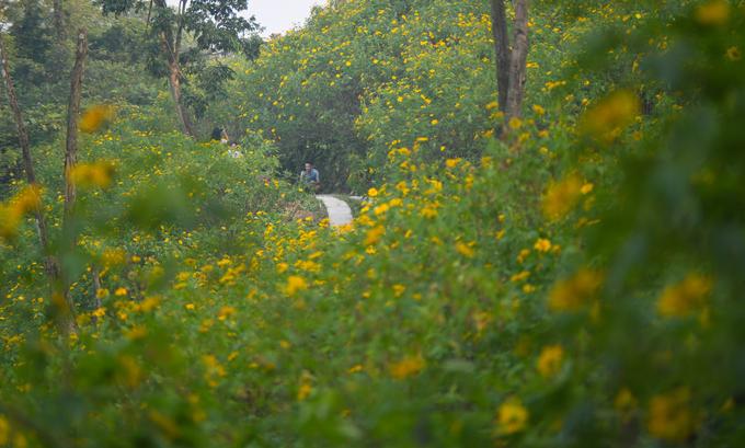 """Từ năm ngoái, vườn quốc gia Ba Vì đưa vào khai thác """"Rừng hoa dã quỳ"""", nằm cách rừng thông coste 400 khoảng 200 m đi bộ. Theo đại diện vườn quốc gia, khu rừng này có diện tích hơn 10 ha, chia làm 5 khu với tuyến đường mòn đi bộ dài hơn 3 km."""