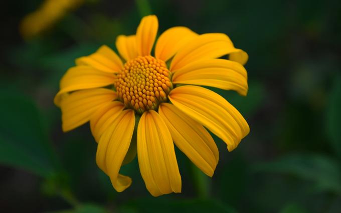 Hoa dã quỳ còn được biết đến với tên gọi cúc quỳ, hướng dương dại, hướng dương Mexico. Loài cây này thuộc họ Cúc, phân bố chủ yếu tại các khu vực nhiệt đới và cận nhiệt đới. Tại Việt Nam, mùa hoa dã quỳ chỉ kéo dài khoảng một tháng và đẹp nhất trong khoảng 2 tuần, khi hoa bắt đầu nở rộ.
