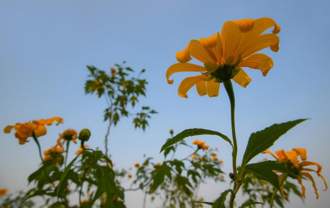 Ở Việt Nam trước đây, hoa dã quỳ nổi tiếng ở các vùng Gia Lai, Đà Lạt. Du khách từ miền Trung trở ra Bắc gặp khá nhiều khó khăn để ngắm dã quỳ do mùa hoa ngắn, quãng đường di chuyển dài. Đây cũng là lý do khiến rừng hoa ở vườn quốc gia Ba Vì hút khách tham quan đổ về.