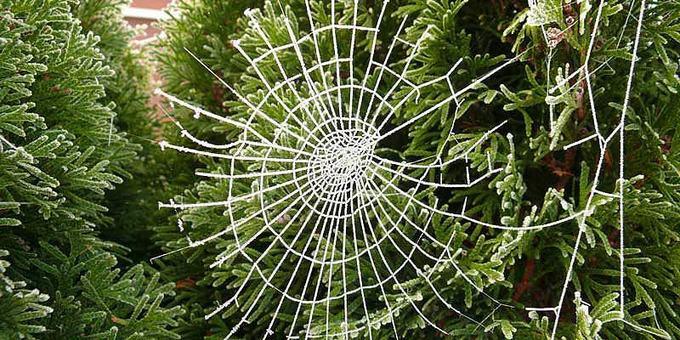 Ukraine: Cây ma quái  Nếu có dịp tới Ukraine trong Giáng sinh bạn sẽ thấy trên cây xanh ở đây được trang trí nhiều mạng nhện. Theo truyền thuyết, con nhện thần đã chăng tơ trên cây trước cửa một gia đình nghèo. Khi trời sáng, những sợi tơ trắng chuyển thành kim loại quý, khiến cho gia đình này trở nên giàu có. Do đó, ngày nay, mạng nhện thể hiện cho sự thịnh vượng vào năm sau. Ảnh: Nomad women.