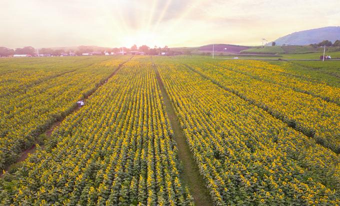 Những ngày đầu tháng 12, cánh đồng hướng dương ở huyện Nghĩa Đàn, Nghệ An bắt đầu nở đợt đầu tiên. Trong ảnh là bình minh trên cánh đồng rộng 60 ha.