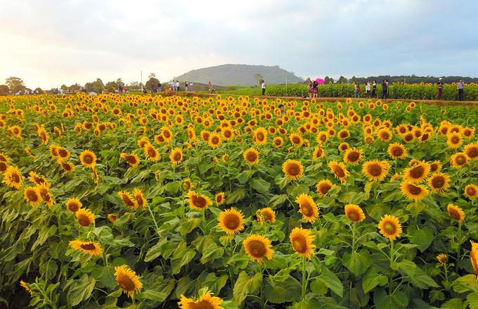 Hoa được trồng và chăm sóc để có thể nở thành 3 đợt. Đợt đầu tiên, hoa bắt đầu khoe sắc từ đầu tháng 12; đợt cuối cùng sẽ tàn vào sát Tết nguyên đán Kỷ Hợi.