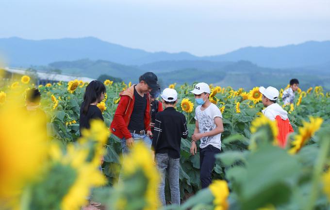 Mỗi ngày, cánh đồng hoa đều thu hút nhiều khách tới chụp hình. Người dân không mất phí vào thăm nơi này.