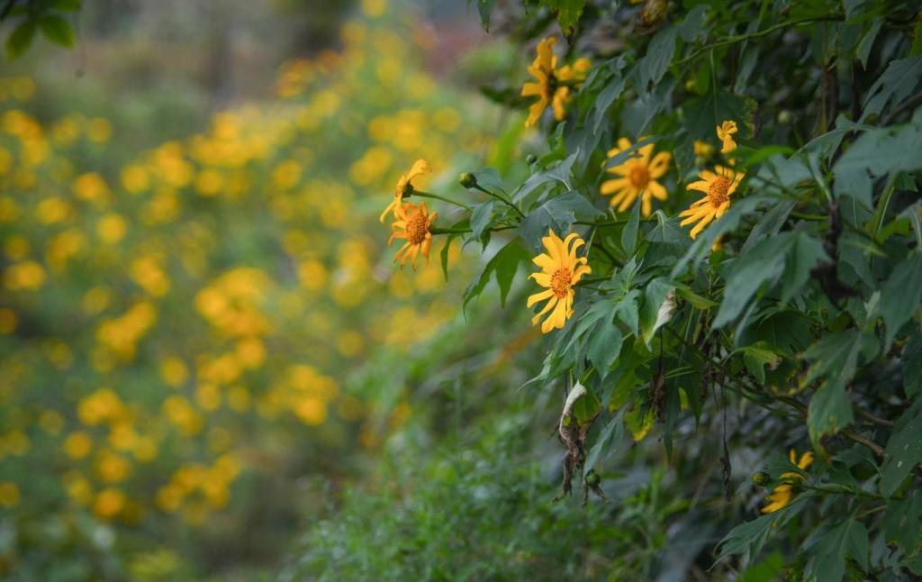 Từ đầu tháng 11 đến hết tháng 12 là thời điểm hoa dã quỳ phủ vàng nhiều vùng miền cả nước trong đó có khu núi rừng Điện Biên.