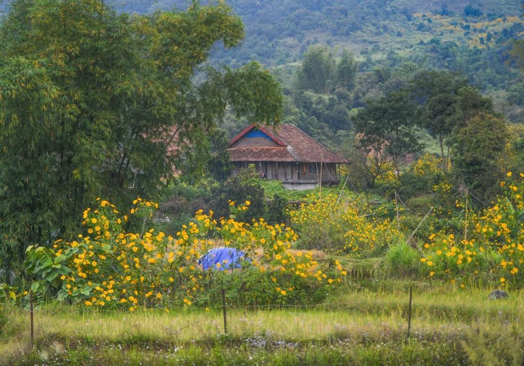 Ngôi nhà sàn của dân tộc Thái giữa mùa hoa. Đa phần dã quỳ ở Điện Biên mọc tự nhiên, một số ít do người dân trồng làm hàng rào.