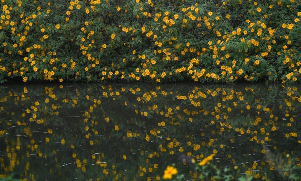 Những bông hoa vàng nở rộ bên bờ ao nằm trong khuôn viên nhà một người dân xã Mường Phăng.