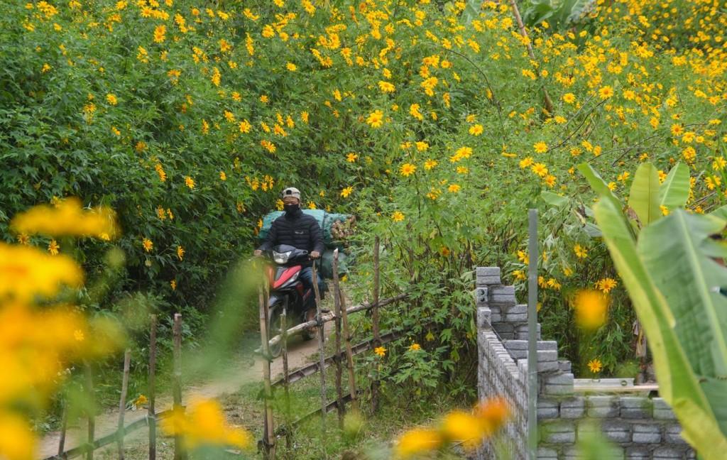 Anh Chư, người dân địa phương, cho biết thời điểm này hàng năm, khắp xã Mường Phăng và các khu vực xung quanh đều có rất nhiều dã quỳ. Thời gian gần đây, người dân còn trồng thêm quanh nhà nên lượng hoa càng nhiều thêm.